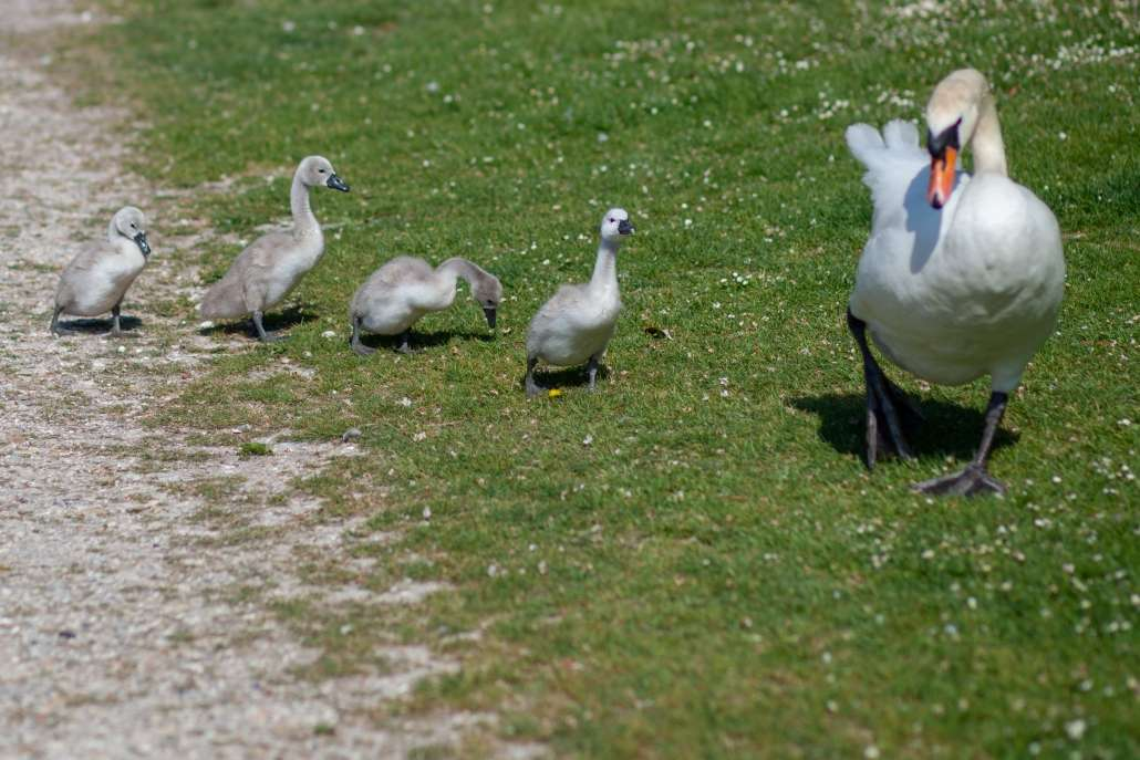 A photo of a swan and signetts in Arundel Swanbourne Lake