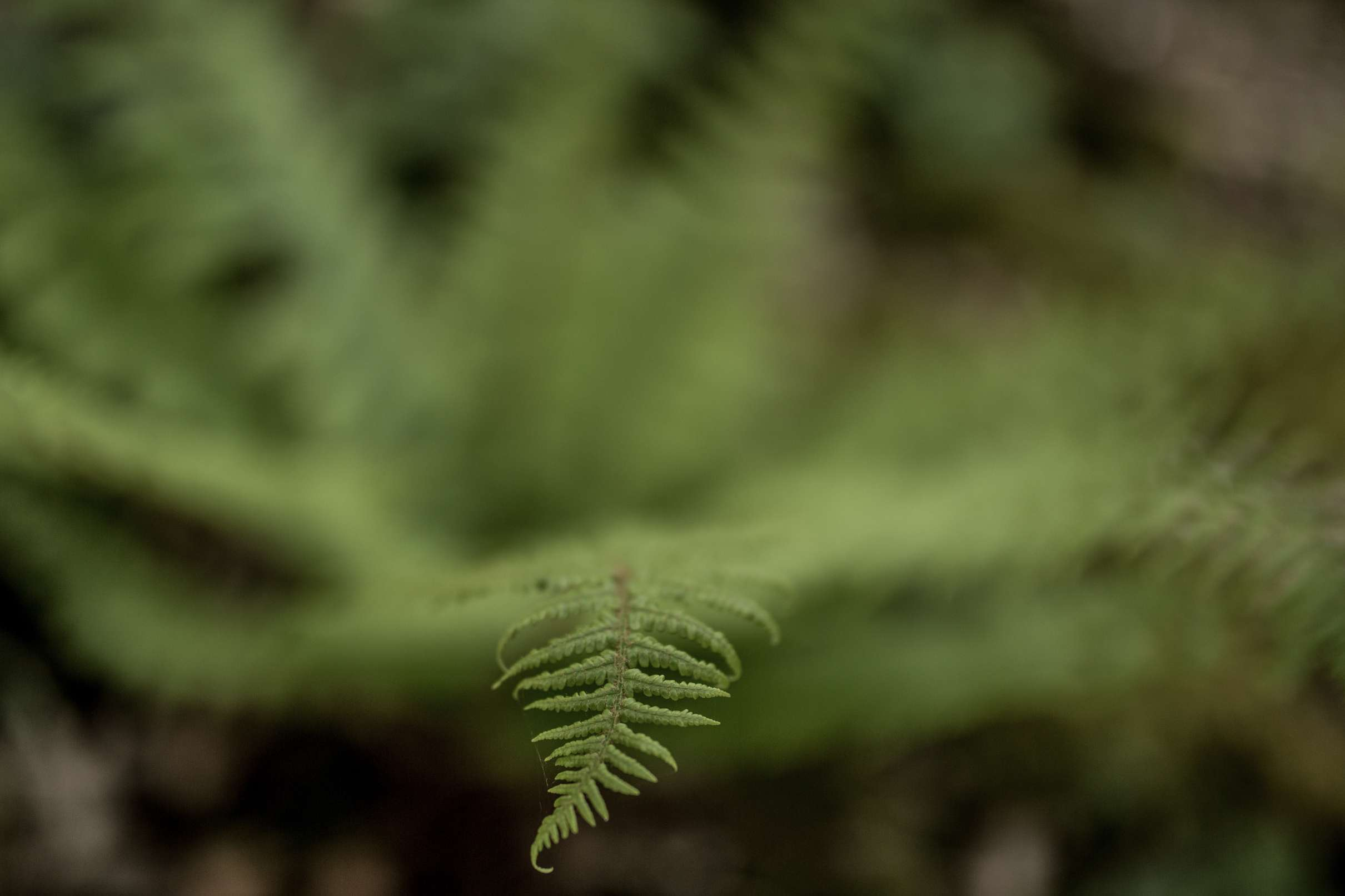 A photo of a bracken leaf